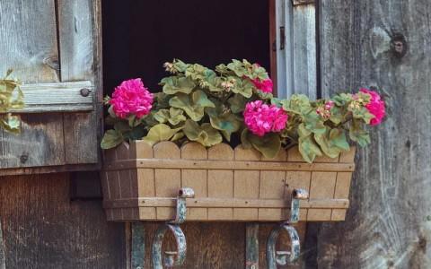 Как сохранить герань на зиму в домашних условиях