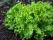 Правила и условия хранения листьев салата