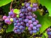 Хранение чубуков винограда до весны