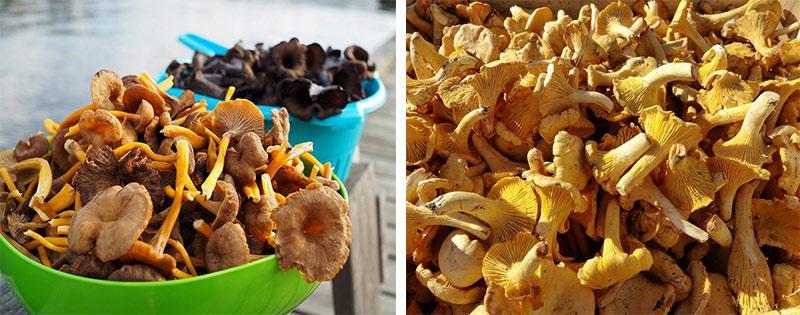 Сушение грибов лисичек