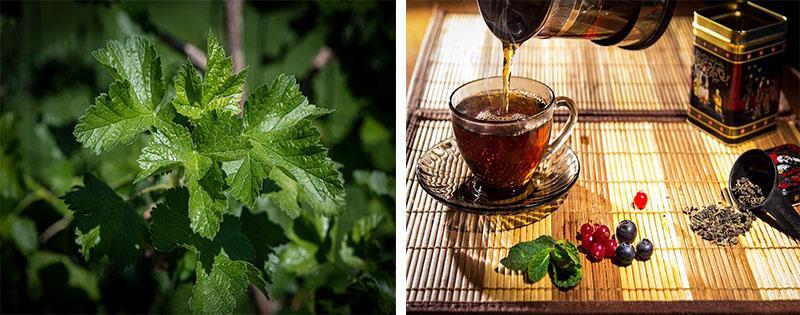 Сушка и заготовка листьев смородины