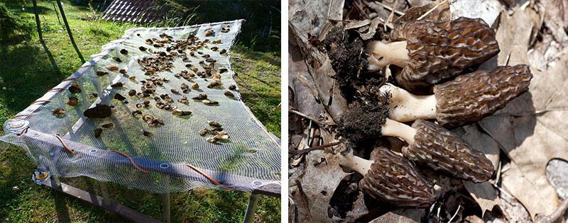 Сушеные грибы сморчки
